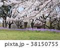 桜 春 花大根の写真 38150755