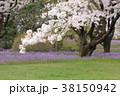 桜 春 花大根の写真 38150942