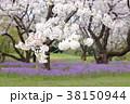 桜 春 花大根の写真 38150944