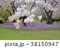 桜 春 花大根の写真 38150947
