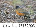 アカハラ 野鳥 鳥の写真 38152903