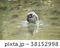 カイツブリの水浴び 38152998