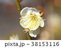 梅の花 梅 花の写真 38153116