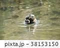 カイツブリの水浴び 38153150