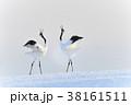丹頂鶴 求愛 鳥の写真 38161511