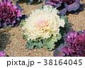 植物 葉 葉牡丹の写真 38164045