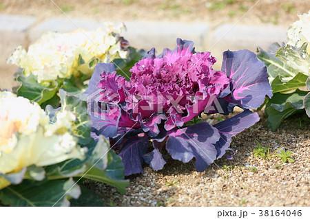 ハボタンの花 38164046