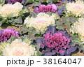 植物 葉 葉牡丹の写真 38164047
