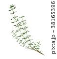 ハーブ タイム 植物のイラスト 38165396