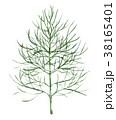 ハーブ ディル 植物のイラスト 38165401