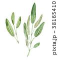ハーブ セージ 植物のイラスト 38165410