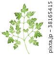 ハーブ チャービル 植物のイラスト 38165415