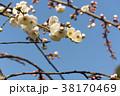 梅 花 春の写真 38170469