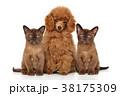 プードル ねこ ネコの写真 38175309