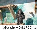 チンパンジー 類人猿 動物の写真 38176541