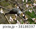 桜 花 ソメイヨシノの写真 38186397