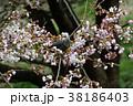 桜 花 ソメイヨシノの写真 38186403