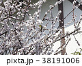 梅 メジロ 鳥の写真 38191006
