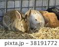 動物 兎 干支の写真 38191772