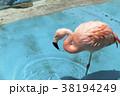 フラミンゴ 大牟田市動物園 鳥の写真 38194249