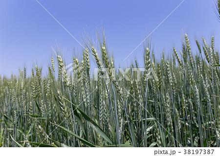 小麦 麦畑(5月) 38197387