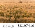 ビール麦 麦畑(5月) 38197410