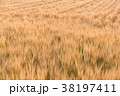 ビール麦 麦畑(5月) 38197411