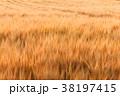 ビール麦 麦畑(5月) 38197415