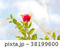 寒椿 植物 椿の写真 38199600
