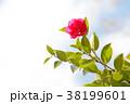 寒椿 植物 椿の写真 38199601