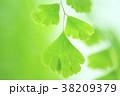 アジアンタム 新緑 葉の写真 38209379