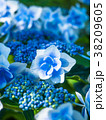 紫陽花 花 ガクアジサイの写真 38209605