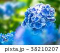 紫陽花 モナリザ 花の写真 38210207
