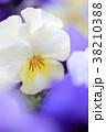 植物 花 ビオラの写真 38210388