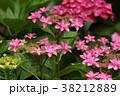 あじさい ピンク ガクアジサイの写真 38212889