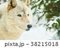 シンリンオオカミの顔 38215018