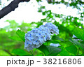 紫陽花 アジサイ あじさいの写真 38216806