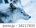 動物 オオカミ 雪の写真 38217835