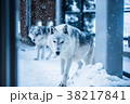 動物 オオカミ 雪の写真 38217841