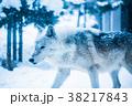 動物 オオカミ 雪の写真 38217843