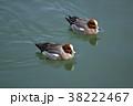 ヒドリガモ カモ 水鳥の写真 38222467