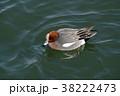 ヒドリガモ カモ 水鳥の写真 38222473