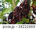 ピナンガ ピナンガクーリー ピナンガ椰子の写真 38222669