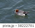 ヒドリガモ 野鳥 水鳥の写真 38222701