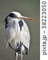 アオサギ 水鳥 野鳥の写真 38223050