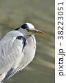 アオサギ 水鳥 野鳥の写真 38223051