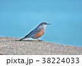 琵琶湖のイソヒヨドリ 38224033