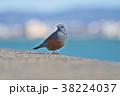琵琶湖のイソヒヨドリ 38224037