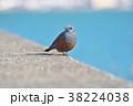 琵琶湖のイソヒヨドリ 38224038