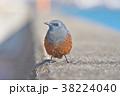 琵琶湖のイソヒヨドリ 38224040